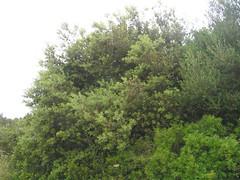 Stein-Eiche an der Küste bei Betlem, Mallorca, NGIDn1831437847 (naturgucker.de) Tags: quercusilex steineiche naturguckerde cwolfgangkatz 1038097865 409271081 551652051 ngidn1831437847