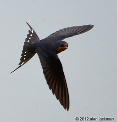 Barn Swallow, Birds of John Heinz Wildlife Refuge (alan jackman) Tags: water wetlands birdsinflight barnswallow johnheinzwildliferefuge johnheinz flightshot d7000 nikond7000 jackmanonjazz alanjackman johnheinzwildloferefuge
