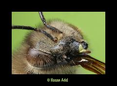 Bee Portrait ... 4X (HASAN_ADEL) Tags: portrait macro nature canon insect focus stack bee honey micro saudi arabia stacking 60 65 adel ksa hasan magnification بن حسن mpe65 السعودية عادل العربية المملكة zerene 60d macrolife mt24x