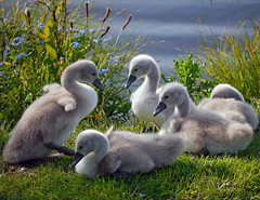 expecting to fly(explore #309) (kenny barker) Tags: lumix explore cygnets panasoniclumixgf1 welcomeuk kennybarker