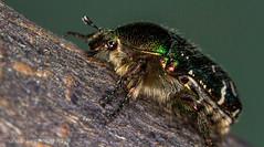 Rose Chafer (cetonia aurata) (markhortonphotography) Tags: macro green canon insect gold spring metallic tubes beetle surrey 100mm 7d extension f28 chafer deepcut kenko rosechafer cetoniaaurata scarabaeidae eos7d