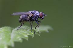 Emmesomyia socia (Glenn van Windt) Tags: macro nature closeup flies diptera vlieg emmesomyia tamronspaf180mmf35ldifmacro