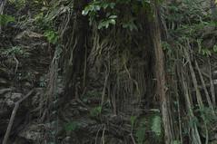 enracines (Joseph Tarigan) Tags: tree nature pentax jungle 1855mm root wr k7