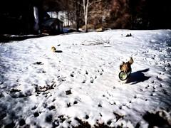 Camera Roll-144 (BB Wylie Walden) Tags: friends melting happiness frisbee thaw shetlandsheepdog kentct dogsandcats litchfieldcounty iphoneography catograph