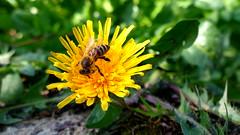 Darzs s virg3 (koboldozat) Tags: flower macro mobile photography nokia symbian beautifull 808 pureview