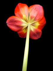 red tulip (peltier patrick) Tags: flowers red orange flower macro fleur fleurs jaune plante garden rouge soleil petals berry tulips lumire jardin petal tulip printemps dessous couleur ptale tulipe envers tulipes tige ptales bulbe tuliperouge peltierpatrick