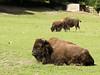 American buffalos (John van Beers) Tags: france zoo bison dierentuin bufallo americanbison lisieux bizon bisonbison hermivallesvaux lowernormandy amerikaansebizon parczoologiquecerza americanbufallo