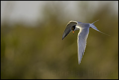 forster's tern (Christian Hunold) Tags: bird animal virginia bokeh wildlife shorebird delmarva forsterstern seeschwalbe chincoteaguenwr christianhunold