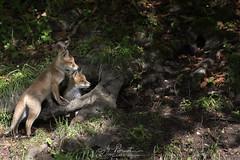 Les deux roux (Romain BRUOT Photographies) Tags: duo fox animaux fort bbs redfox jeunes sauvage renard sigma50500 goupil renardeaux nikond750