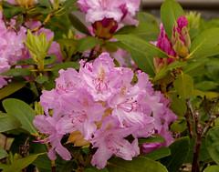 Rhododendron (p.franche) Tags: brussels flower macro nature fleur up rose europe close belgium belgique bokeh bruxelles panasonic rhododendron dxo brussel hdr schaarbeek schaerbeek belge flickrelite fz200 pascalfranche pfranche