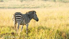 DSC01654.jpg (ChrMous) Tags: winter animals southafrica mammals 2016 plainszebra burchellszebra chapmanszebra equusquagga bontsebra steppezebra gewonezebra pilanesbergnp sonyslta99 tamronsp150600mmf563 steppezebragewonezebraburchellszebrabontsebraequusburchelli steppezebragewonezebraburchellszebrabontsebraequu