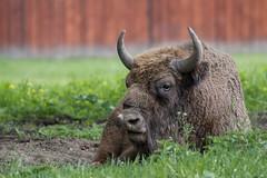 Wisent (bohnengarten) Tags: park eos nationalpark poland polen bialowieza bison wisent narodowy 70d europische bialowieski
