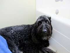 """Loving and living with Benni Girl and never having to be in the bathroom alone.."" (Bennilover) Tags: horses cats love dogs animals loving living funny bathrooms lol rabbits closeness labradoodle benni favoritethings hamsters privacy following myfavoritethings bennigirl"