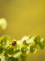 Euphorique (Titole) Tags: yellow ladybird ladybug coccinelle shallowdof euphorbe titole nicolefaton