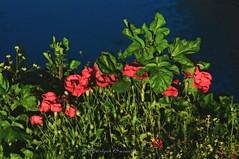 Gn batm gelincikleri (Hseyin Baaolu) Tags: flower nature turkey spring trkiye turquie troia iek biga turkei dardanel doa anakkale ilkbahar pegai nikkor100mmf28seriese nikond300s