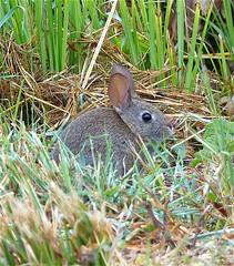 Bunny 2 (Kazooze) Tags: animal rabbit bunny bunnyrabbit grasses roadside nature jennerca