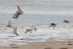 Bcasseau Sanderling, Bcasseau variable, Grand Gravelot (-Dop-) Tags: france calidrisalpina picardie charadriiformes calidrisalba charadriushiaticula saintquentinentourmont