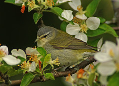 Tennessee Warbler 051816 (SteveJnerChicago) Tags: chicago bird nature wildlife sony tennesseewarbler warbler ilca77m2