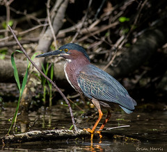 Green Heron (b88harris) Tags: county trees sunlight lake fish green heron rural fishing pond nikon exposure ngc 300mm npc ligt nikkor wildwood dauphin harrisburg d7200