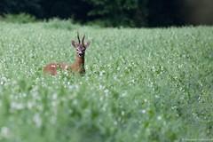 Brocard (Morgane_W) Tags: nature animal wildlife buck tamron roedeer chevreuil mammifre sauvage faune brocard capreoluscapreolus cervid nikond7100