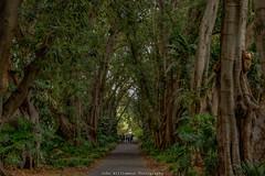 Adelaide Botanic Gardens Walk (johnwilliamson4) Tags: trees people landscape outdoor australia adelaide ferns southaustralia botanicgardens figtrees