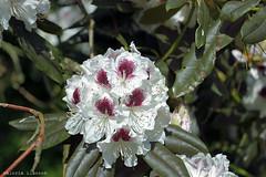 L1008745 (LaBonVampire) Tags: leica flowers nature zeiss carlzeiss zm leicam8 teletessart485 teletessar85