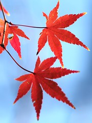 Day 5 (dogman!) Tags: red nature leaves japan tokyo maple olympus   omd mapleleaves  em1