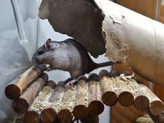 P1000083 (therovingeye) Tags: pets gerbil rodents gerbilhabitat