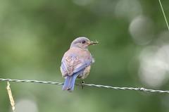 Female Western Bluebird (Sialia mexicana) DDZ_4933 (NDomer73) Tags: bird june bluebird thrush champoeg 2016 westernbluebird champoegstatepark champoegstateheritagearea 11june2016