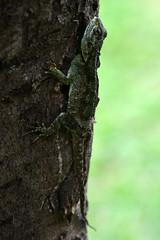 Blue-headed tree agama (supersky77) Tags: blueheadedtreeagama agama lizard lucertola reptile rettile kilembe rwenzori rwenzorinationalpark acanthocercusatricollis uganda