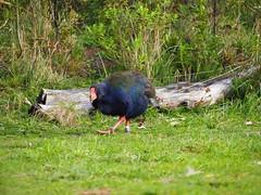 Takahe (dougnewdick) Tags: takahe zealandia