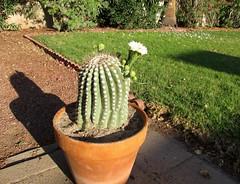 It Lives! (zoniedude1) Tags: arizona cactus flower nature phoenix cacti spring desert blossom flowering buds saguaro blooming transplant saguarocactus flowerbuds carnegieagigantea itlives zbg saguaroblossom zoniedude1 canonpowershotg12 armbud desertspring2016