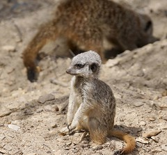 Meerkat (Suricata suricatta) pup (Annette Rumbelow) Tags: fur meerkat pup carnivore suricatasuricatta sharpteeth longleatsafaripark onpatrol onlookout junglekingdom longleatgrounds