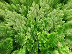 Green explosion   Selaginella martensii abstract (Badenfocus_Thanks for 650k views) Tags: abstract green grn farn moos moosfarn badenfocus