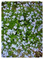 Vergissmeinnicht (1snomi1) Tags: natur blumen draussen wiesenblume