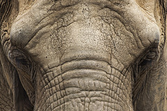 Elephant (GuillermoRoche) Tags: elefante elephant close up brown clarity wow eyes aniamal skin