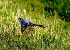 Gray Catbird (michaelbbateman) Tags: bird us newjersey unitedstates wildlife graycatbird kinnelon