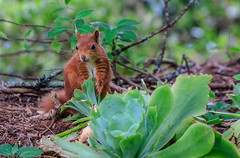 7D2L6171 (ndall) Tags: scilly redsquirrel tresco