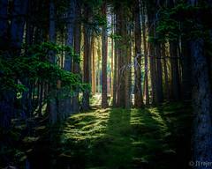 Morning light (JTrojer) Tags: trees light forest austria tirol moss tyrol innsbruck mhltal trojer sonya7r jtrojercom tirolfoto