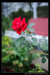 DSC07736 (YKevin1979) Tags: flower floral flora bokeh sony 28mm mc vegetation f2  manualfocus  kiron a7ii   a7m2 a7mark2 ilce7m2