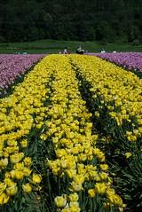 DSC_3746 (Copy) (pandjt) Tags: ca flowers canada bc britishcolumbia tulip abbotsford tulipfestival abbotsfordtulipfestival