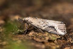 Pinion-streaked snout moth (Schrankia costaestrigalis) (Ian Redding) Tags: uk nature fauna woodland insect european feeding wildlife moth lepidoptera british proboscis invertebrate palps erebidae schrankiacostaestrigalis pinionstreakedsnout