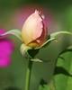 Promise (Shutter_Hand) Tags: usa naturaleza flower macro fleur rose flora texas sony flor jardin rosa botanico blomma alpha 花 blume fiore secretgarden çiçek weatherford 꽃 kukka цветок mineralwells botanicalpark jardinbotánico jardinsecreto parquebotánico a99 फूल clarkgardens lenscraft texasgem texasjewel sonyaf100mmf28macro miguelmendozamuñoz sonyalphaa99 slta99