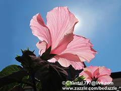Basking in the Sunlight ~ Pink Hibiscus Flower under Blue Skies on a Sunny Day (Chantal PhotoPix) Tags: pink flowers summer greenleaves sunlight canada flower nature floral beautiful gardens garden season landscape daylight spring flora colorful soft pretty vibrant seasonal sunny bluesky lookingup flowerbed hibiscus pinkflower dreamy backlit blueskies sunrays botany springflowers isolated backlighting sunnyday flowerbeds summerflowers hibiscusbloom pinkhibiscus hibiscusblooms baskinginthesunlight hibiscusgarden