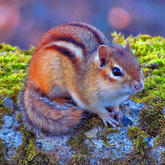 Coucou :-) (Lara-queen) Tags: canada nature animal fauna squirrel quebec magog wildlife avril 2012 faune ecureuil digitalcameraclub quynhvu 100commentgroup saariysqualitypictures laraqueen canonpowershotsx30is