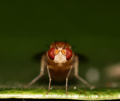 Drosophila Staredown (midnightrook) Tags: portrait color macro cute eye bug insect iso100 fly compound interesting eyes dof bokeh flash iso tiny 100 t3i oof fruitfly drosophila compoundeye compoundeyes 600d vinegarfly baseiso