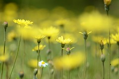 With open eyes (Tinina67) Tags: flowers summer plant yellow season spring may meadow gelb daisy tina gras blume abundance challenge odc tinina67