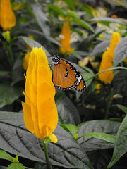 African Monarch (Butterfly) on a yellow flower (pegase1972) Tags: montrealbotanicalgarden butterfly danauschrysippus qc canada montreal quebec fleur licensed nspp getty exclusive license