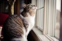 Sierra (Kyle Kotajarvi) Tags: blue window minnesota yellow cat fur nikon kitten sill rochester indoors mn lightroom