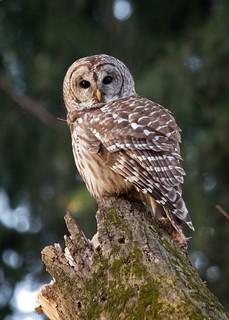Barred Owl Explored